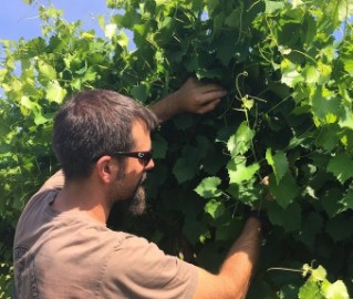 Dr. Cain Hickey takes tissue samples from a 'Carlos' muscadine vineyard for nutrient analysis.
