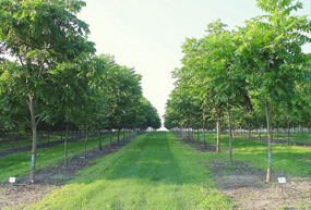 Field of pecan trees